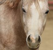 picture of dapple-grey  - Dapple gray horse face macro with reddish coat - JPG