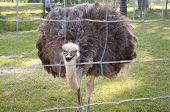 stock photo of ostrich plumage  - A Beautiful Female Ostrich at a Zoo - JPG