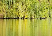 Colorful Branches Of The Weeping Willow Are Mirrored In The Pond