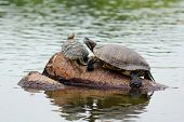picture of carapace  - two turtles on a pole in pond - JPG