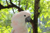 stock photo of cockatoos  - cockatoos pink beside face closeup take photo in zoo - JPG