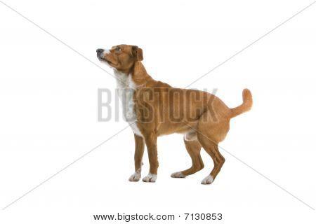 Cachorro Pinscher austríaco