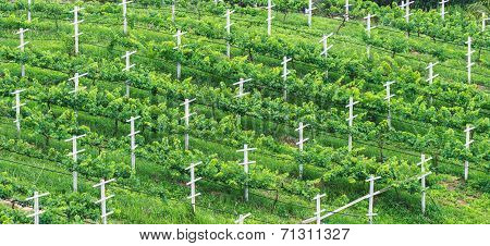 Vineyards, Minimal Tillage Practice
