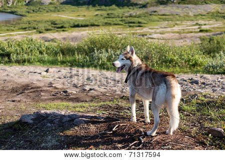 Husky Dog Looking At The Mountains In The Summer