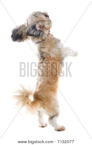 shih tzu doggy