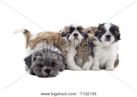 group of shih tzu puppies