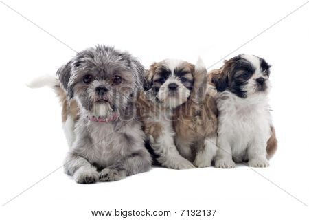 group of shih tzu puppies