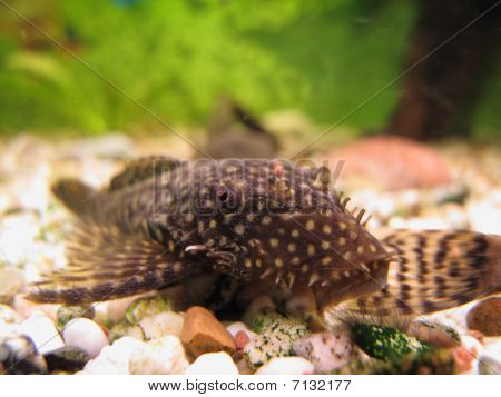 Young Ancistrus (bristle-nose Catfish)
