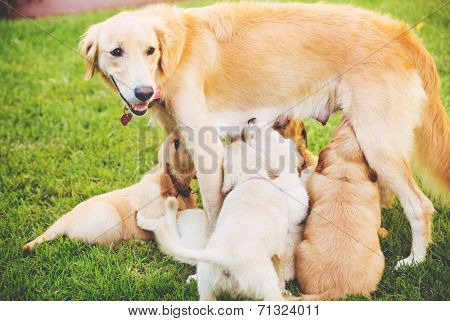Golden Retriever Puppies Nursing from their Mother Mother in the Yard