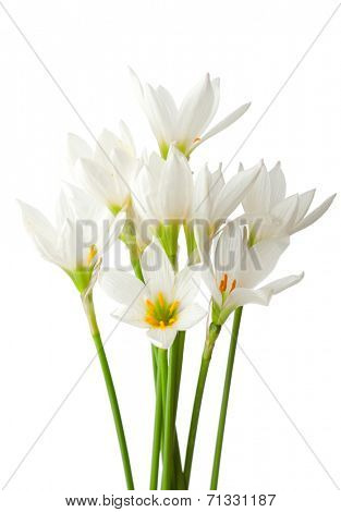 Lilies isolated on a white background. White rain lily (zephyranthes candida)
