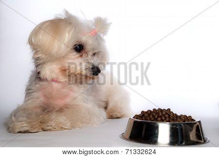 Maltese Dog With
