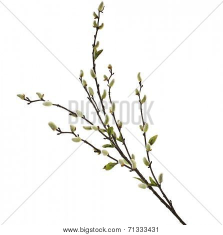 Spring branches Catkins Willowisolated on white background