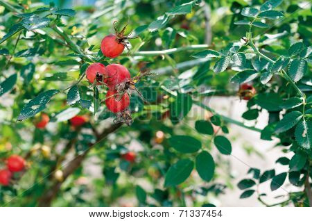 Ripe Berries On A Branch Briar