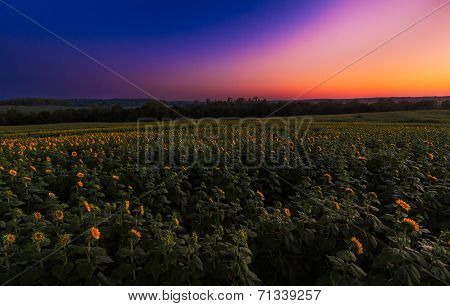 Sunflower Field Sunrise
