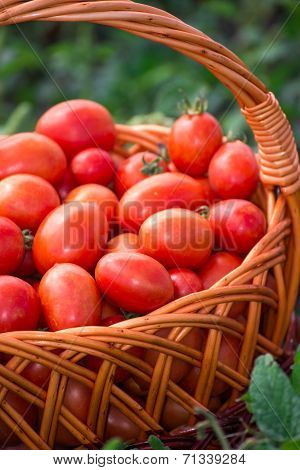 Tomatoes In A Wicker Basket Outdoors