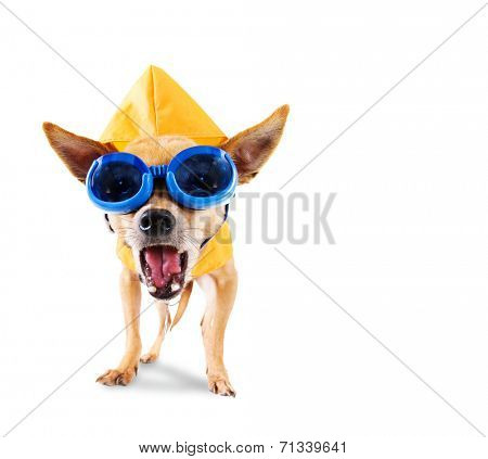a tiny chihuahua with a raincoat and goggles on isolated on a white background