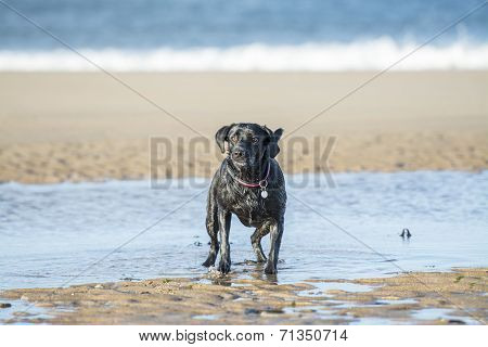 Black Labrador Dog Waiting For Ball To Be Thrown