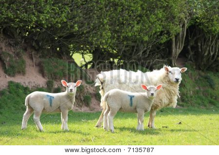 Spring lambs with mum