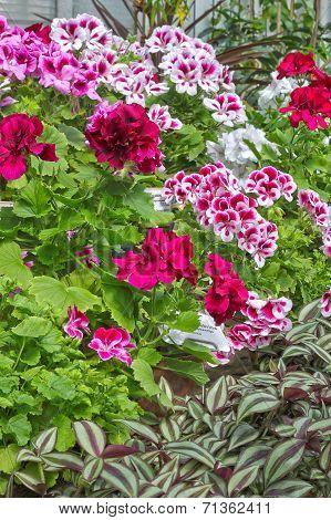 Pelargonium And Tradescantia
