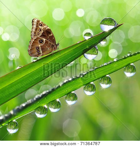 dew and butterfly Morpho