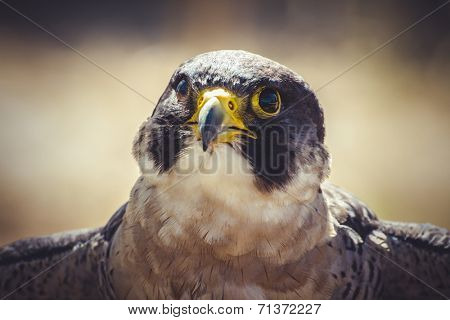 raptor, peregrine falcon with open wings , bird of high speed