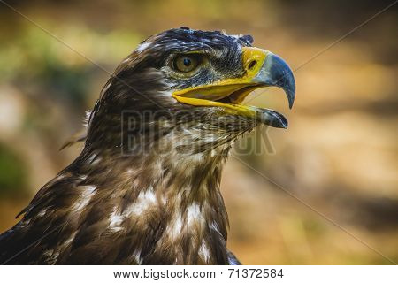 prey, imperial eagle, head detail with beautiful plumage brown