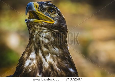 predator, imperial eagle, head detail with beautiful plumage brown