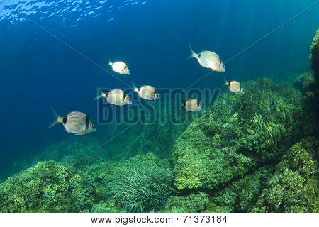 School Sea Bream Fish