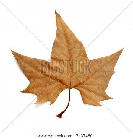 a dried leaf in autumn on a white background