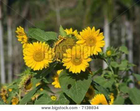 Three Open Sunflowers
