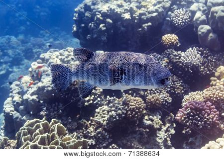 Riesenkugelfisch - Stellatus At Red Sea, Egypt
