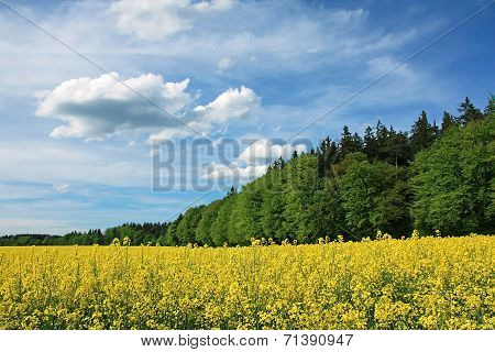 Blooming Canola Field And Green Forest, Bavarian Cloud Scape