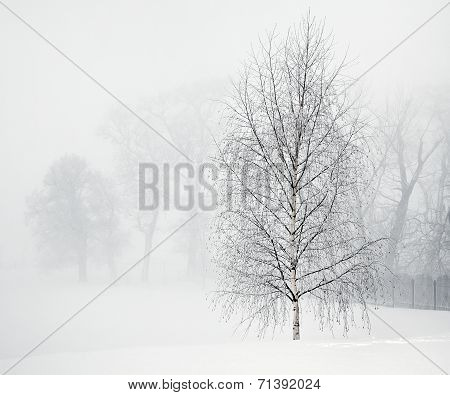 Birch In Soft Morning Fog
