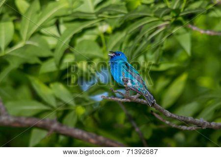 Singing indigo bunting