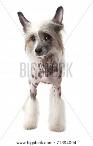 Purebred Hairless Chinese Crested Dog Isolated On White