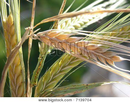 Barley_closeup