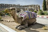 stock photo of dromedaries  - Roman amphitheater of El - JPG