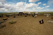 foto of steppes  - On the steppes of Mongolia goats graze everywhere - JPG