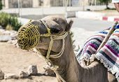 stock photo of sahara desert  - Arabian camel or Dromedary also called a one - JPG