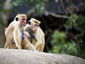 image of macaque  - The Macaques are the most widespread primate genus - JPG