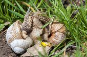 picture of animals sex reproduction  - love two snail on a green meadow - JPG