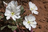 stock photo of primrose  - Evening Primrose  - JPG