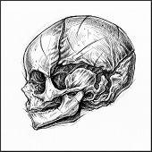 image of fetus  - Fetus Skull traditional ballpoint pen drawing - JPG