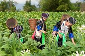 pic of hmong  - Hmong of Asia harvest tobacco women in national costume and butt in the field - JPG