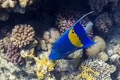 stock photo of angelfish  - Blue Sickle angelfish  - JPG