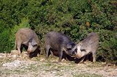 image of wild hog  - Three funny wild hogs in Sardinia, Italy