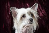 Portrait Of A Purebred Hairless Chinese Crested Dog poster