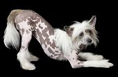 stock photo of 15 year old  - Hairless Chinese Crested dog 15 years old isolated on black - JPG