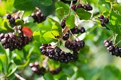 stock photo of aronia  - black chokeberry on the branch in summer