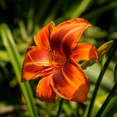 image of outrageous  - A single blossom of the daylily Outrageous - JPG